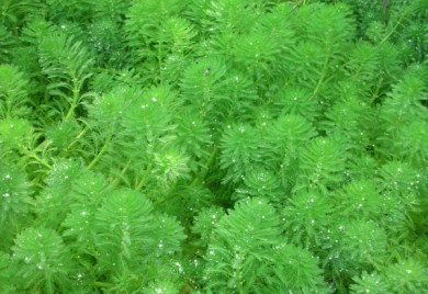 Bog Plants, Parrots Feather, Bog Plants for ponds, Aquatic Plant