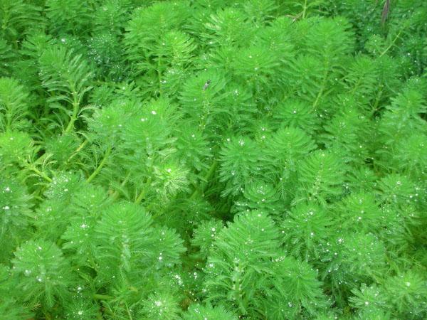 Bog Plants, Parrots Feather, Bog Plants for ponds, Aquatic Plant