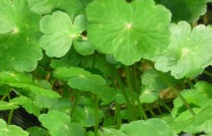 Bog Plants: Pennywort