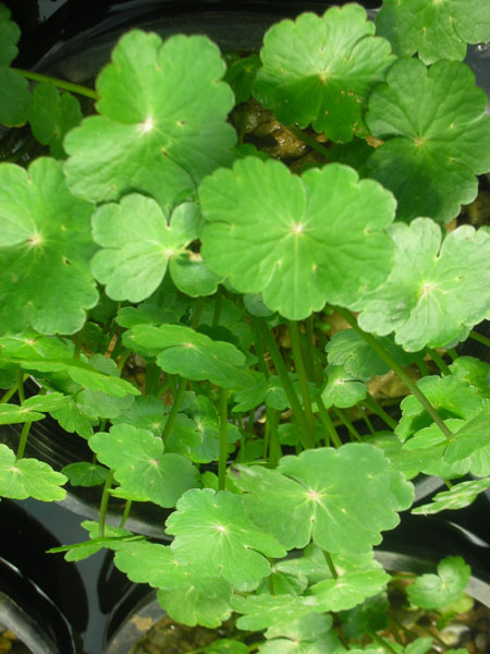 Bog Plants, Pennywort, Bog Plants for ponds, Aquatic Plants