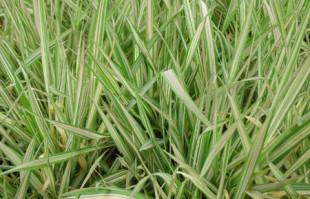 Bog Plants: Ribbon Grass