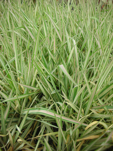Bog Plants, Ribbon Grass, Bog Plants for ponds, Aquatic Plants
