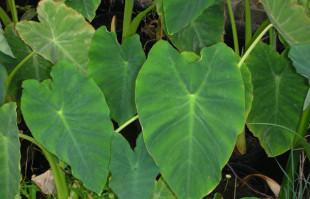 Bog Plants: Taro