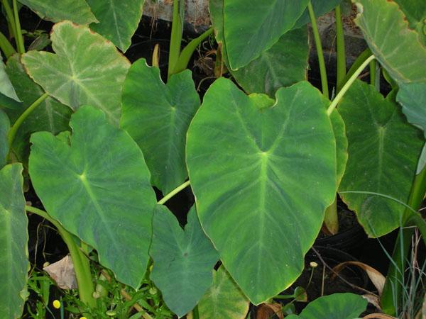 Bog Plants, Taro, Bog Plants for ponds, Aquatic Plants