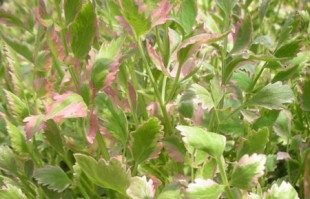 Bog Plants: Water Celery – Variegated