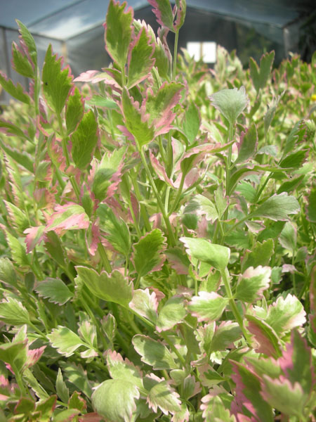 Bog Plants, Water Celery Verigated, Bog Plants for ponds