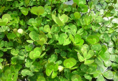 Bog Plants, Water Clover, Bog Plants for ponds
