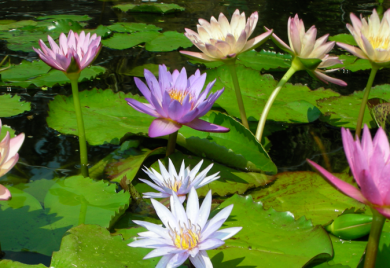 Water Lilies – Sunland Water Gardens – Wholesale Water Lilies Supplier