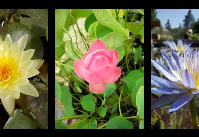 Water Lilies – Sunland Water Gardens – Water Lilies Supplier