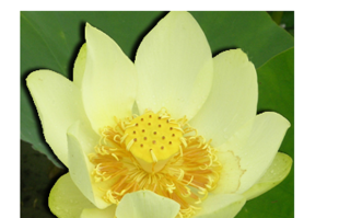 Aquatic pond plants: Yellow Lotus: Perry's Giant Sunburst