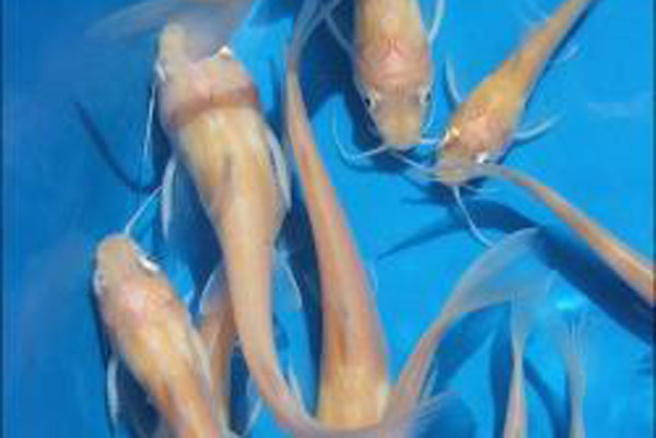 Albino Catfish, Catfish, white catfish, algae eaters, algae cont