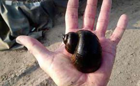 Algae Eaters: Apple Snail