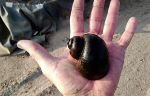 Algae Eaters: Apple Snail
