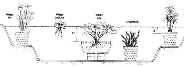Aquatic plant care, pond plant care, pond plants