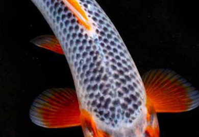 Di system aquaponic tilapia for sale for Koi ponds for dummies