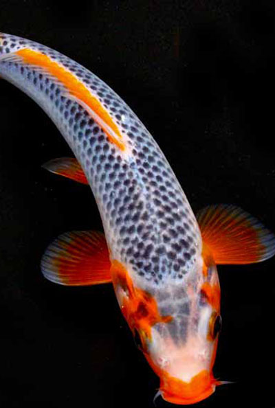 1000 images about koi on pinterest koi ponds carp and for Koi fish water