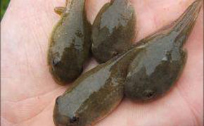 Pond Fish: Algae eaters: Bullfrog Tadpoles