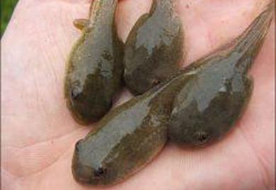 Pond fish algae eaters bullfrog tadpoles for Big fish ponds for sale