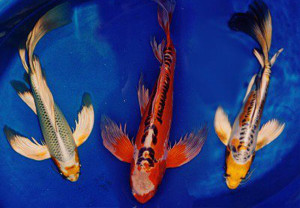 Butterfly koi japanese butterfly koi koi unique koi for Live butterfly koi fish for sale