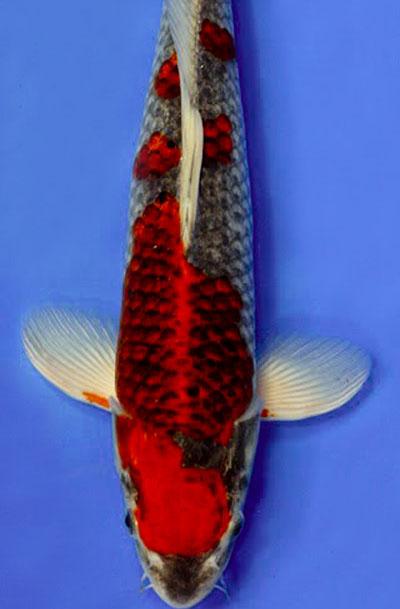 Goshiki koi, Matsuba with red, unique koi, japanese koi, koi