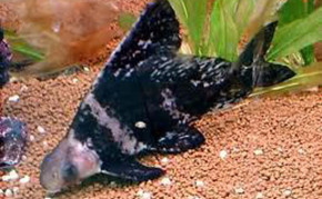 Pond fish: Algae Eaters: Hi Fin Banded Shark