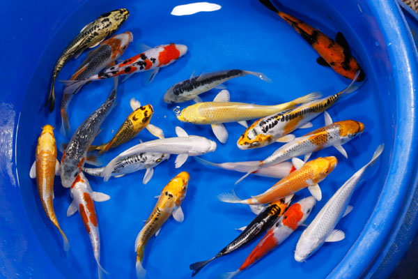 High quality koi koi koi fingerlings small koi for Small coy fish