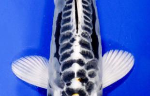 Koi: Kikokuryu