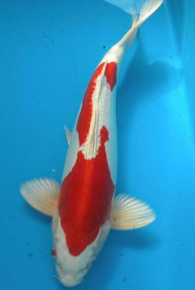 Kikusui kikusi koi koi for sale koi for ponds Koi carp food for sale
