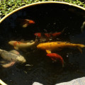 Koi – 101: Top Koi care questions