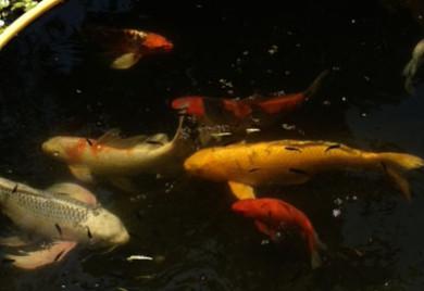 Koi 101 top koi care questions for Koi fish life span