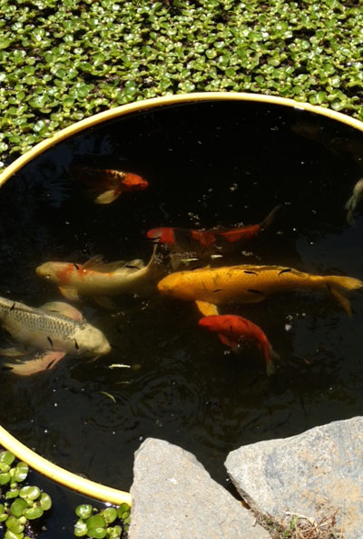 Koi 101 top koi care questions for Garden pond 101