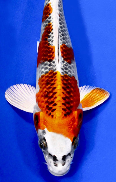 Kujaku koi, unique koi, japanese koi, pond fish