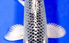 Koi: Matsuba