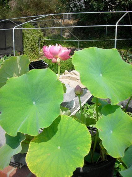 Pink Lotus, Lotus, Lotus for your pond