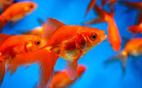 Pond Fish: Red Fantail Goldfish