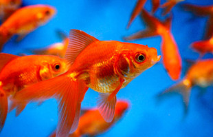 Pond Fish: Red Fantail Goldfish