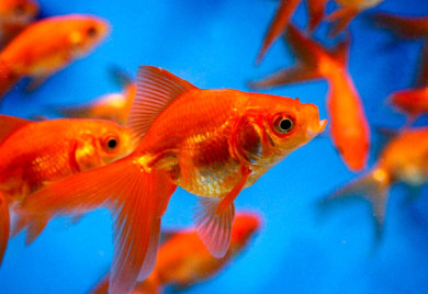 Pond fish red fantail goldfish for Koi fish life span