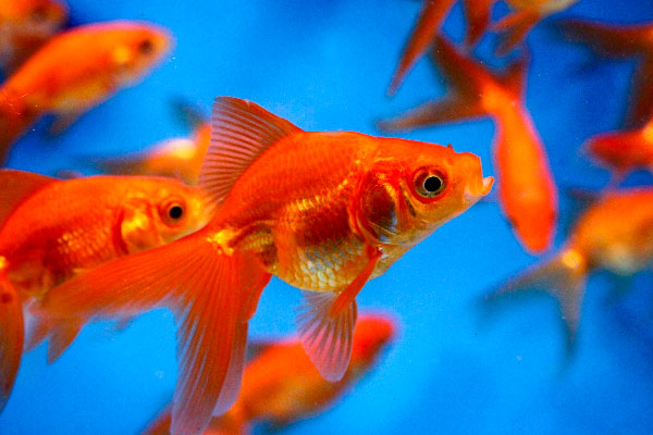 Pond fish red fantail goldfish for Outdoor goldfish for sale