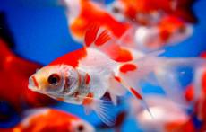 Pond fish: Sarasa Fantail Goldfish