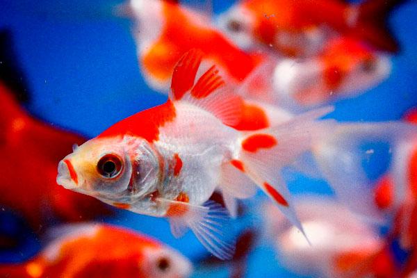 Pond fish, goldfish, Sarasa Fantail goldfish, goldfish for sale