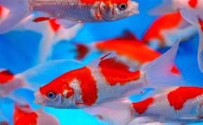Goldfish: Sarasa Comets
