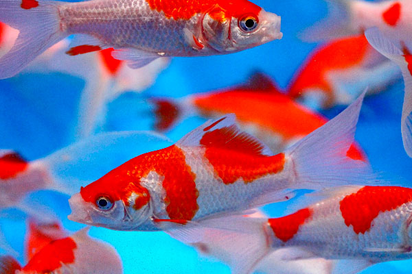 Sarasa comets, red and white goldfish, pond fish