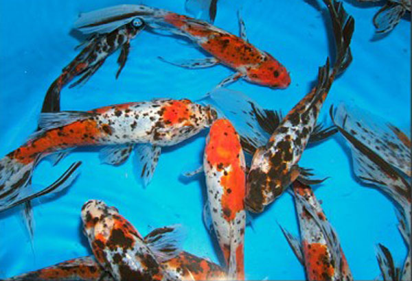 Goldfish shubunkins for Colorful pond fish