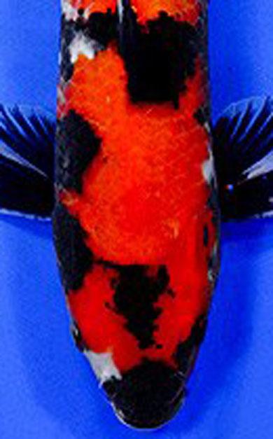 Showa, Showa koi, tri color koi, koi, pond fish, koi for sale