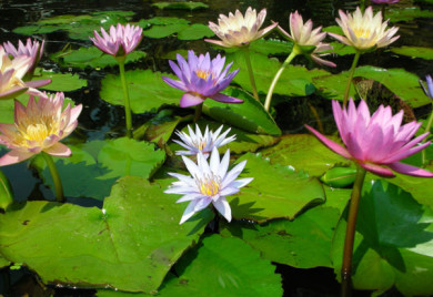 What Is The Difference Between A Tropical Water Lily And A Hardy