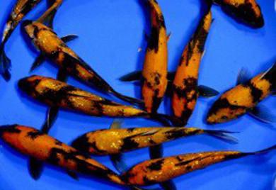 Koi ki utsuri for Rare koi fish for sale