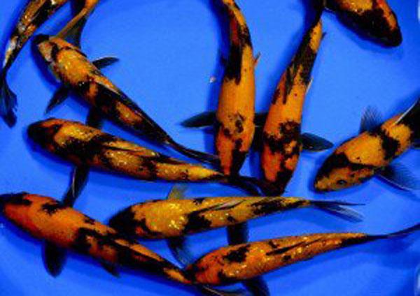 Ustsuri, Black and Orange koi, koi, koi for ponds, pond fish