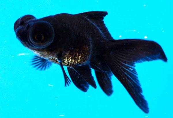 Black Moor Black Goldfish Pond Fish