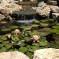 Koi Ponds can Prevent West Nile Virus