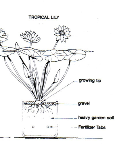 tropical water lily care, how to plant a tropical water lily